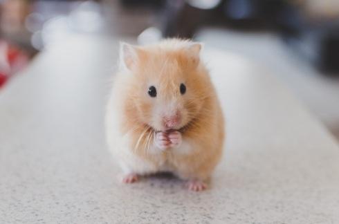Pet hamsters for children